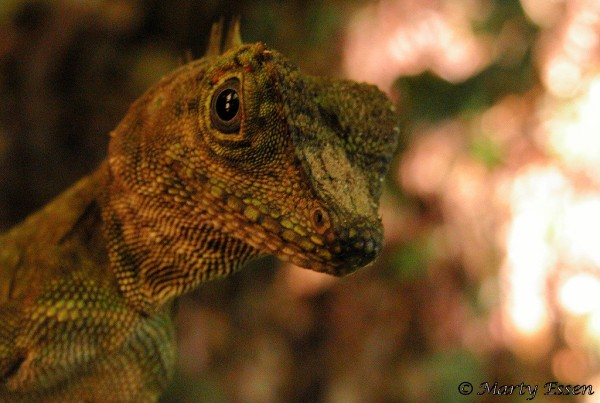 Comb-crested Agamid Lizard
