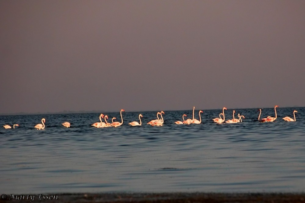 Flamingos in France