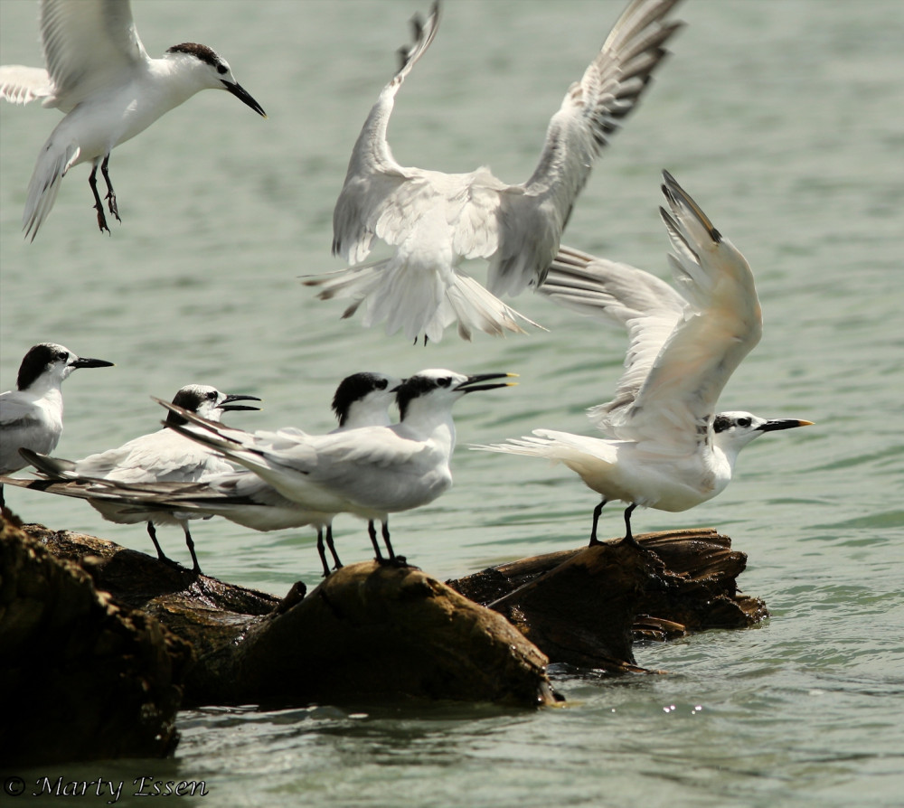 Costa Rica Terns