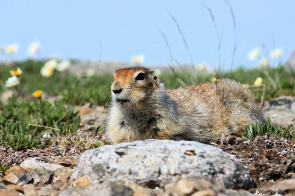 An Arctic Ground Squirrel on a Gorgeous Day