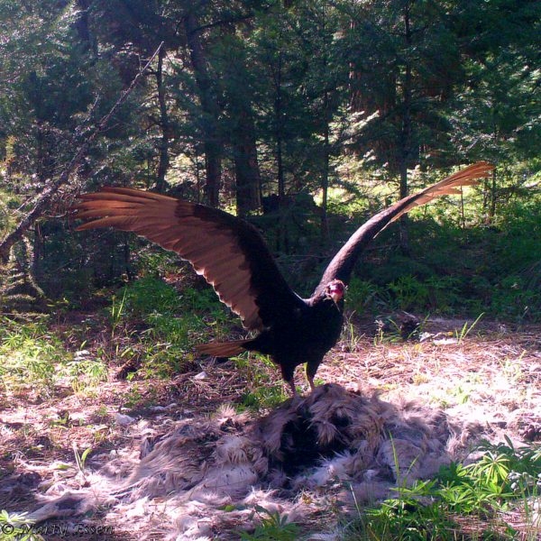 A vulture's wingspan