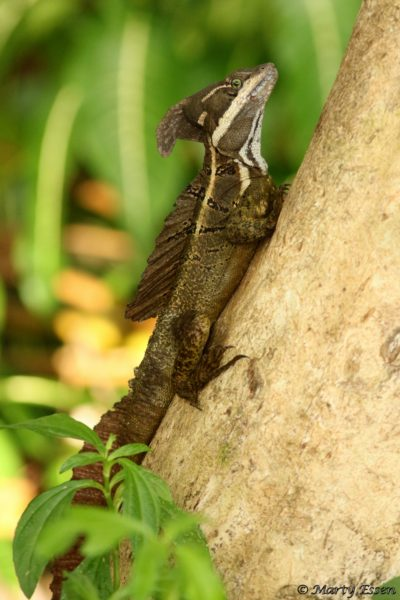 This Jesus Christ Lizard would sink