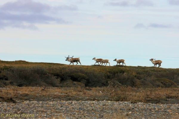 Caribou in the Arctic National Wildlife Refuge