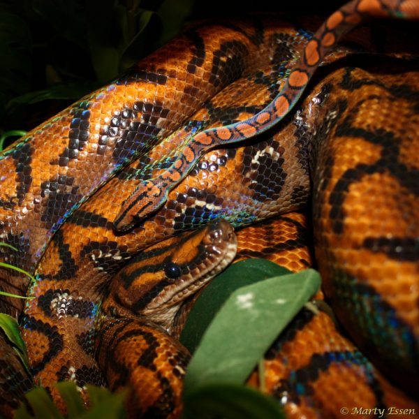 Mother and child . . . rainbow boas