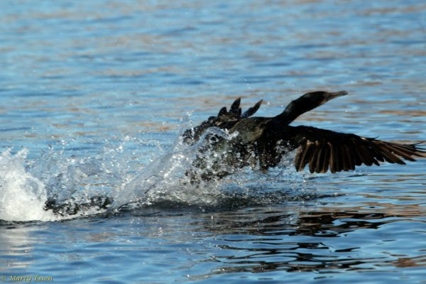 Cormorant take-off!