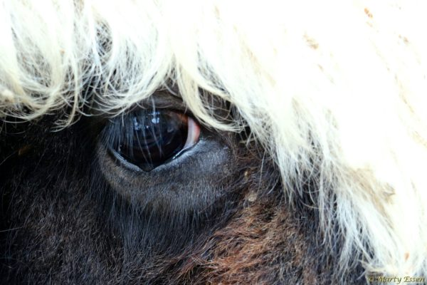 Eye of Yak