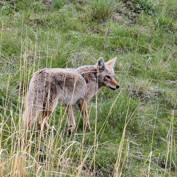Give coyotes some love