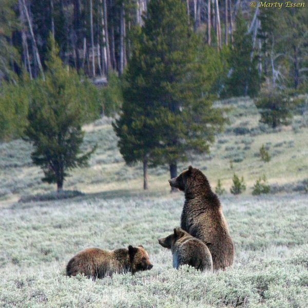A grizzly family outing