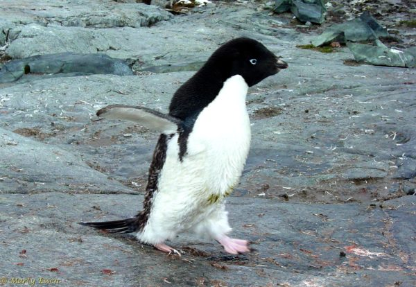 Penguin in a hurry