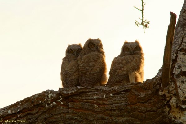 Young long-eared owls
