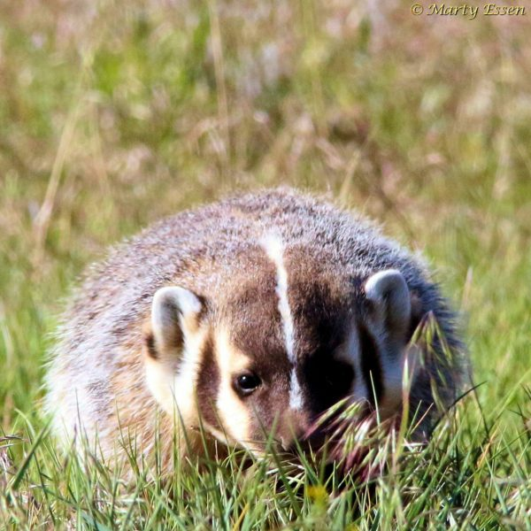 Juvenile badger