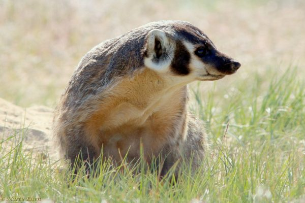 The Mother of All Badgers