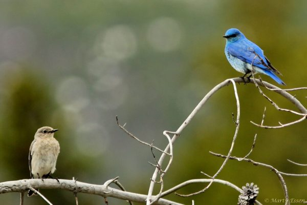 Pair of bluebirds