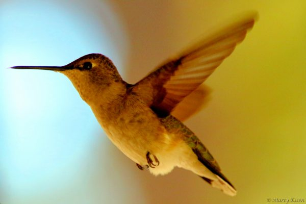 Return of the hummingbirds