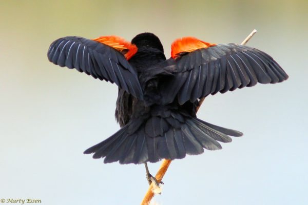 Artsy red-winged blackbird