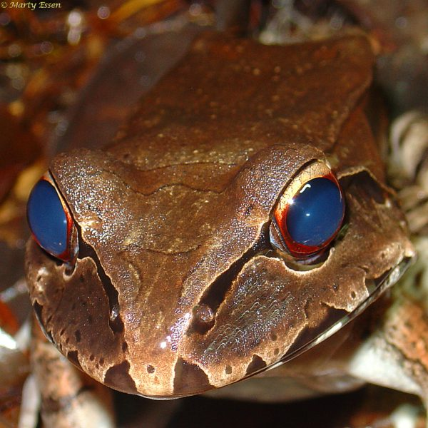 Eye-to-eye with a smoky jungle frog