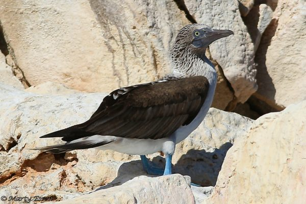 The lone blue-footed booby