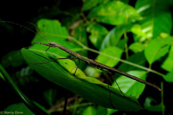 Borneo walking stick