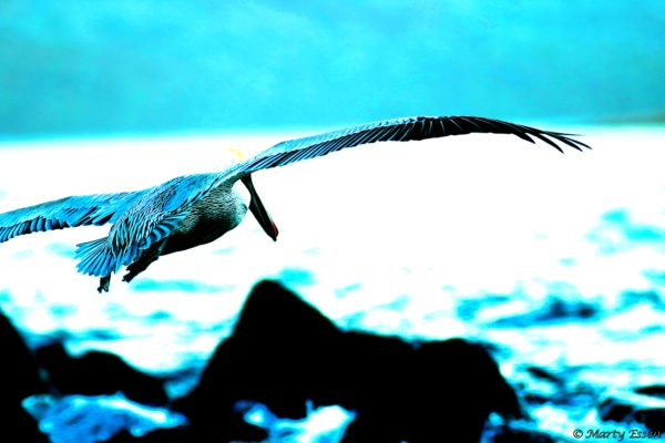 Pelican in blue