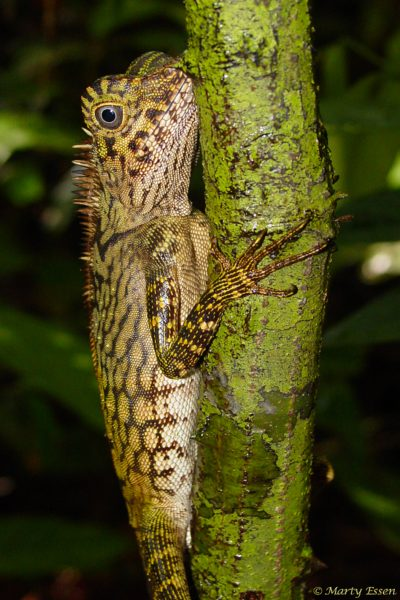 Foremost authority on comb-crested agamid lizards?