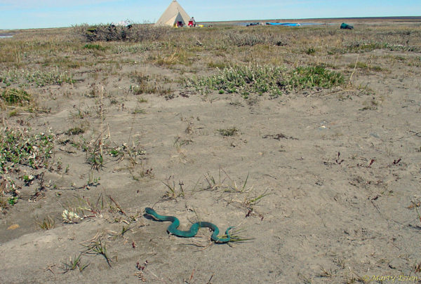 First ever photo of a tundra taipan!