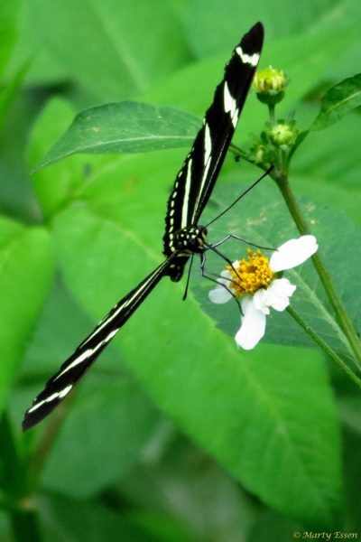 Zebra long-wing butterfly
