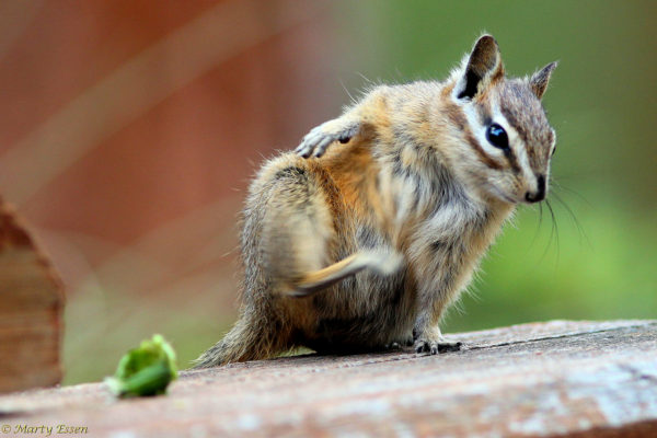 Photographing chipmunks