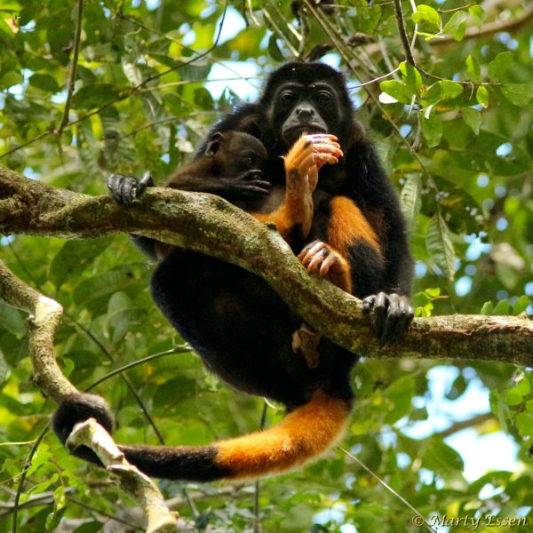 Howler monkey mother and child