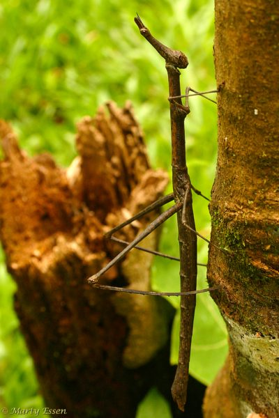 Alien of Walking Stick? You Decide!
