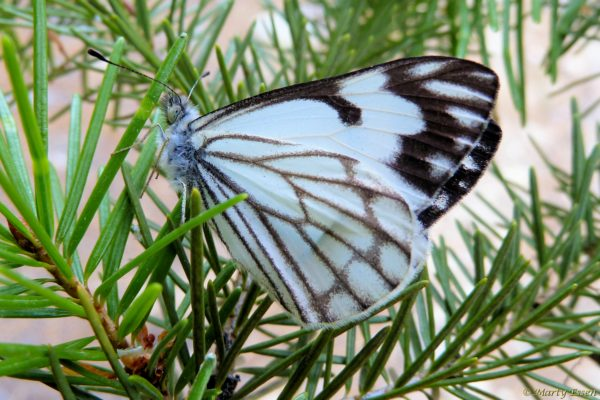 Pine White Butterflies