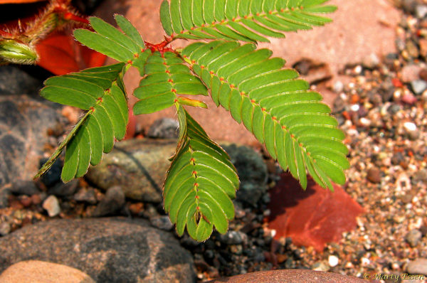 Borneo's sensitive plant