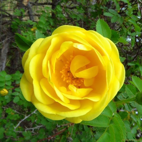 Yellow wild rose