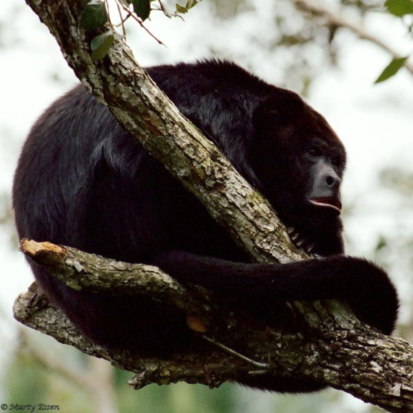 Belize howler monkey
