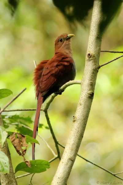 The world's most beautiful brown bird