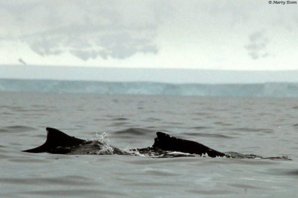 Two humpbacks are better than one