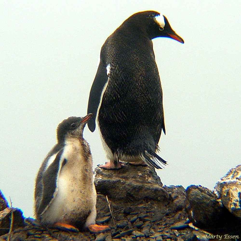 Father and son gentoo penguins