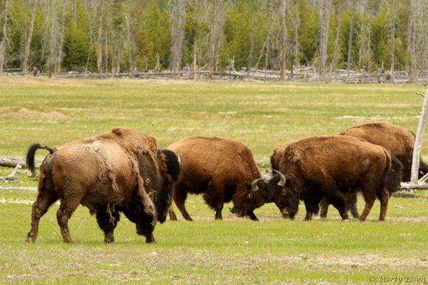 The bison sparring match