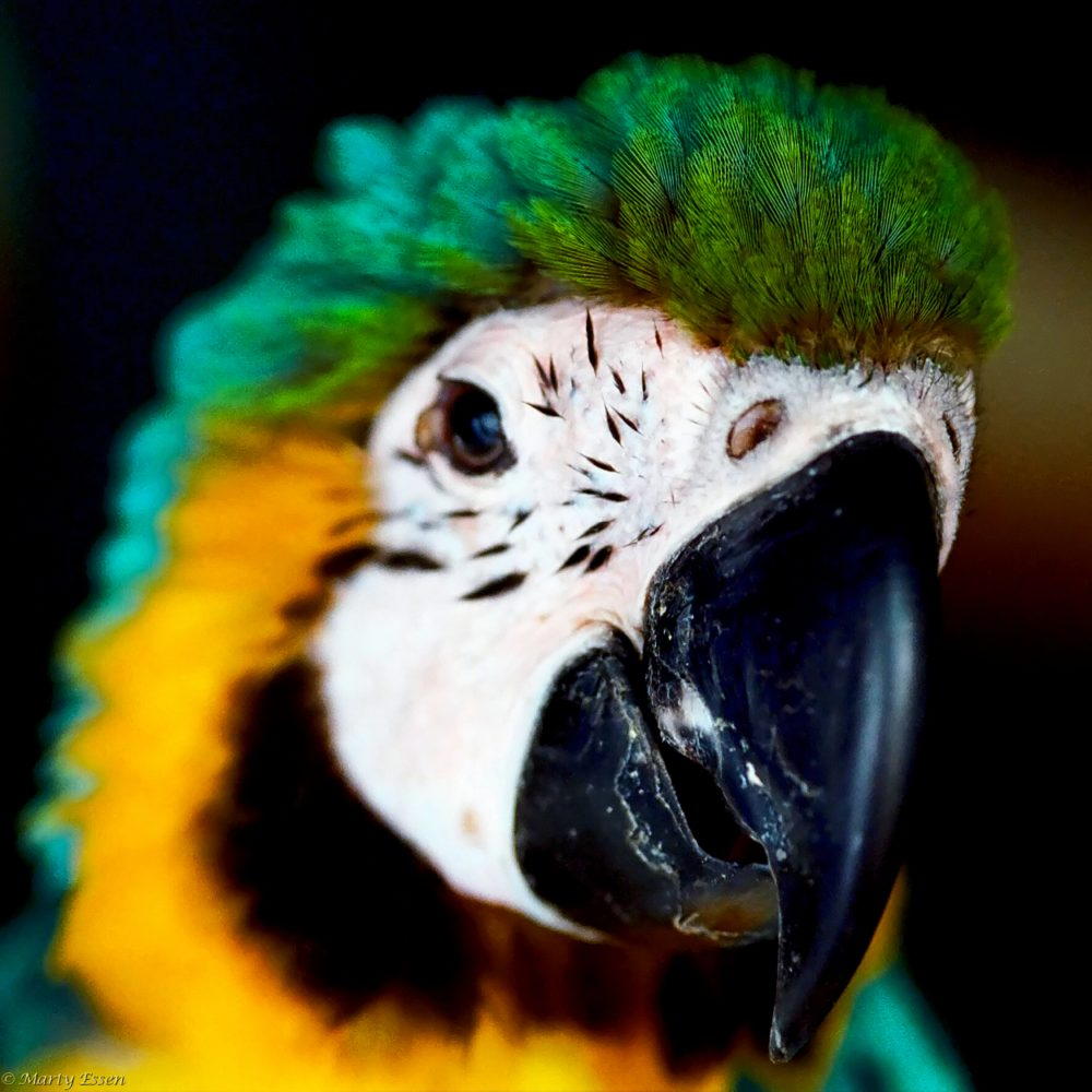 Deep in the Amazon Rainforest . . . a pet macaw