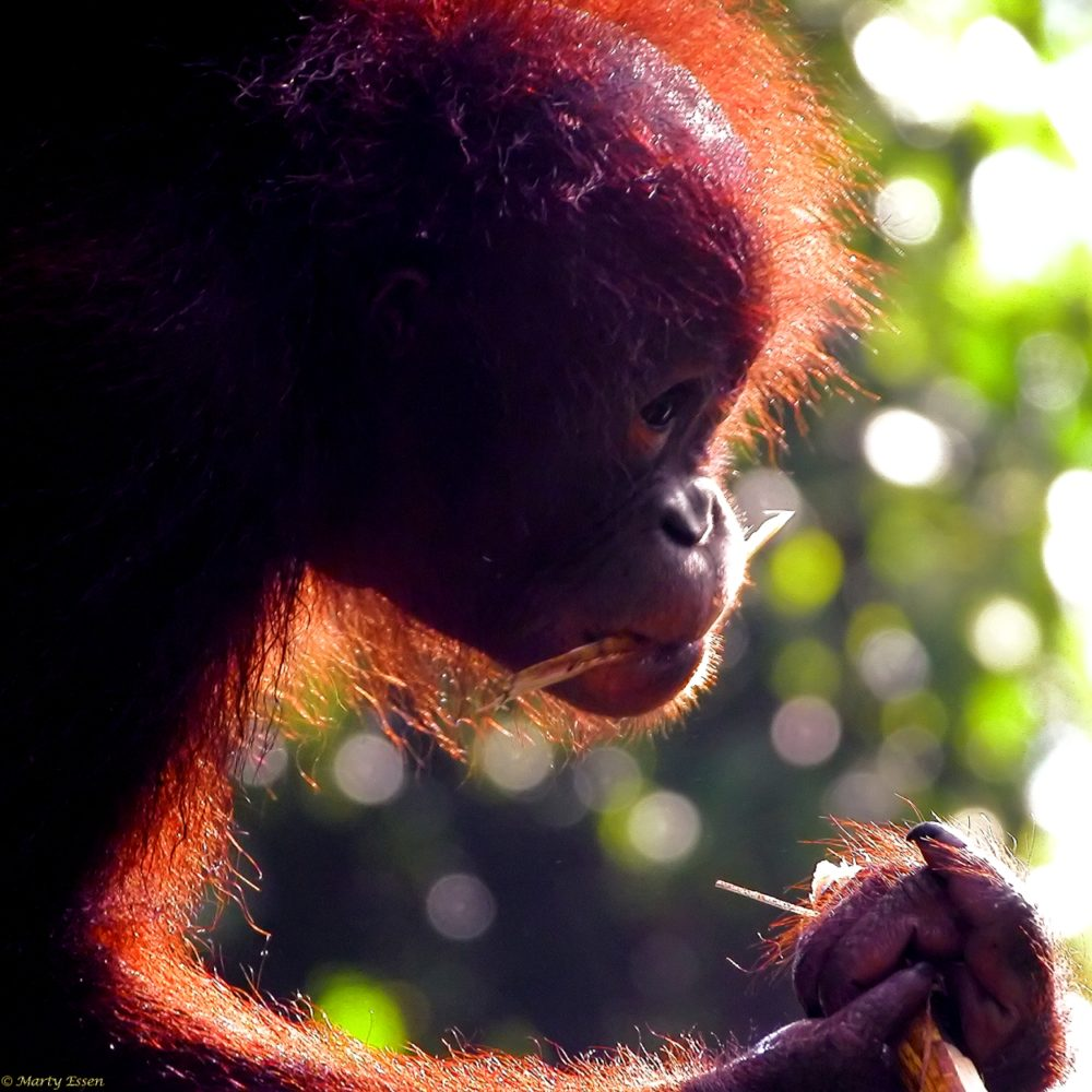 Orangutans, Americans, and Palm Oil