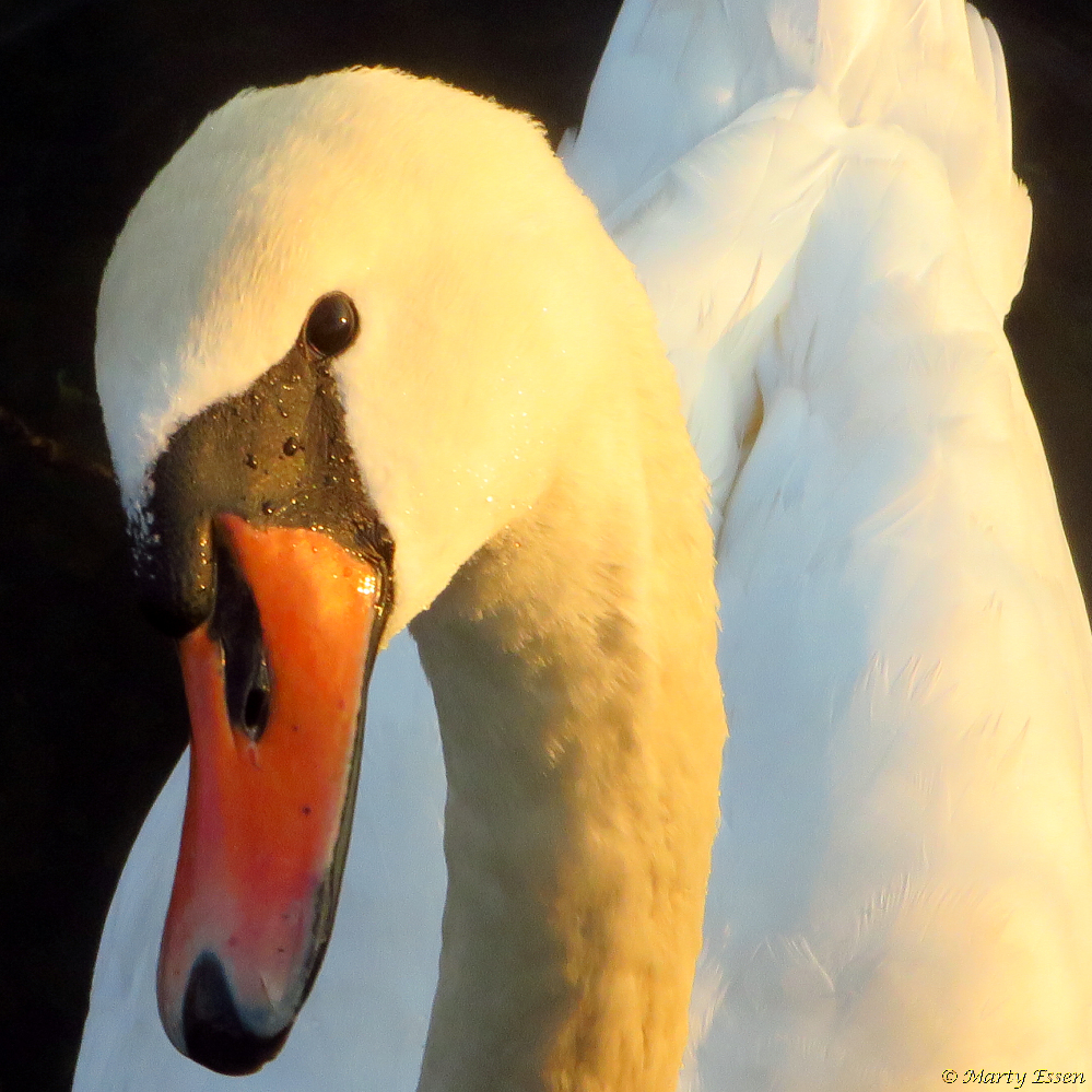 Close encounters of the swan kind