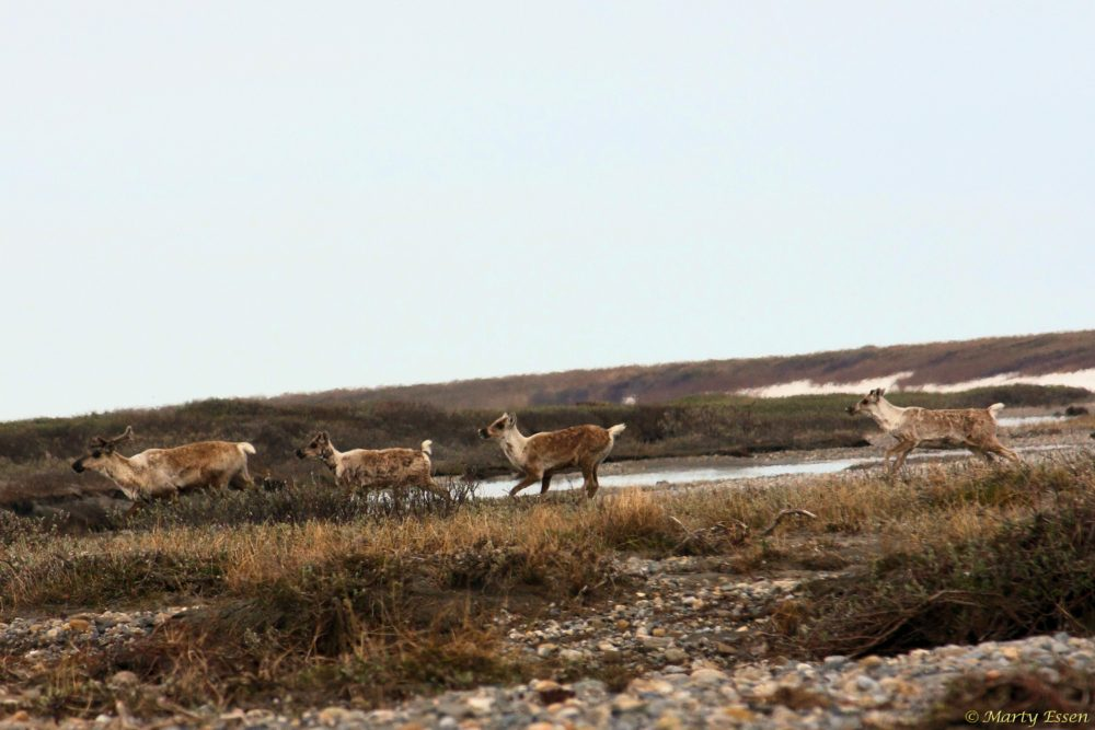 Caribou on the run