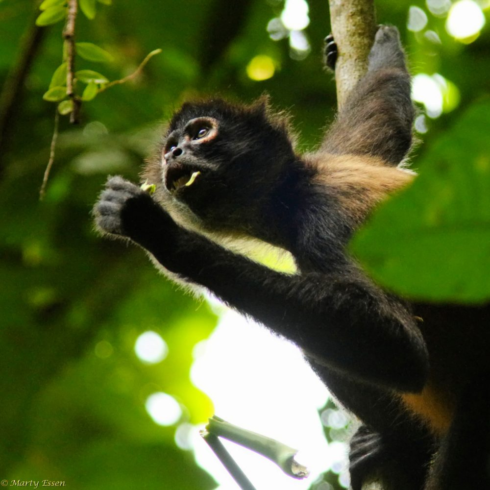 Interesting spider monkey facts