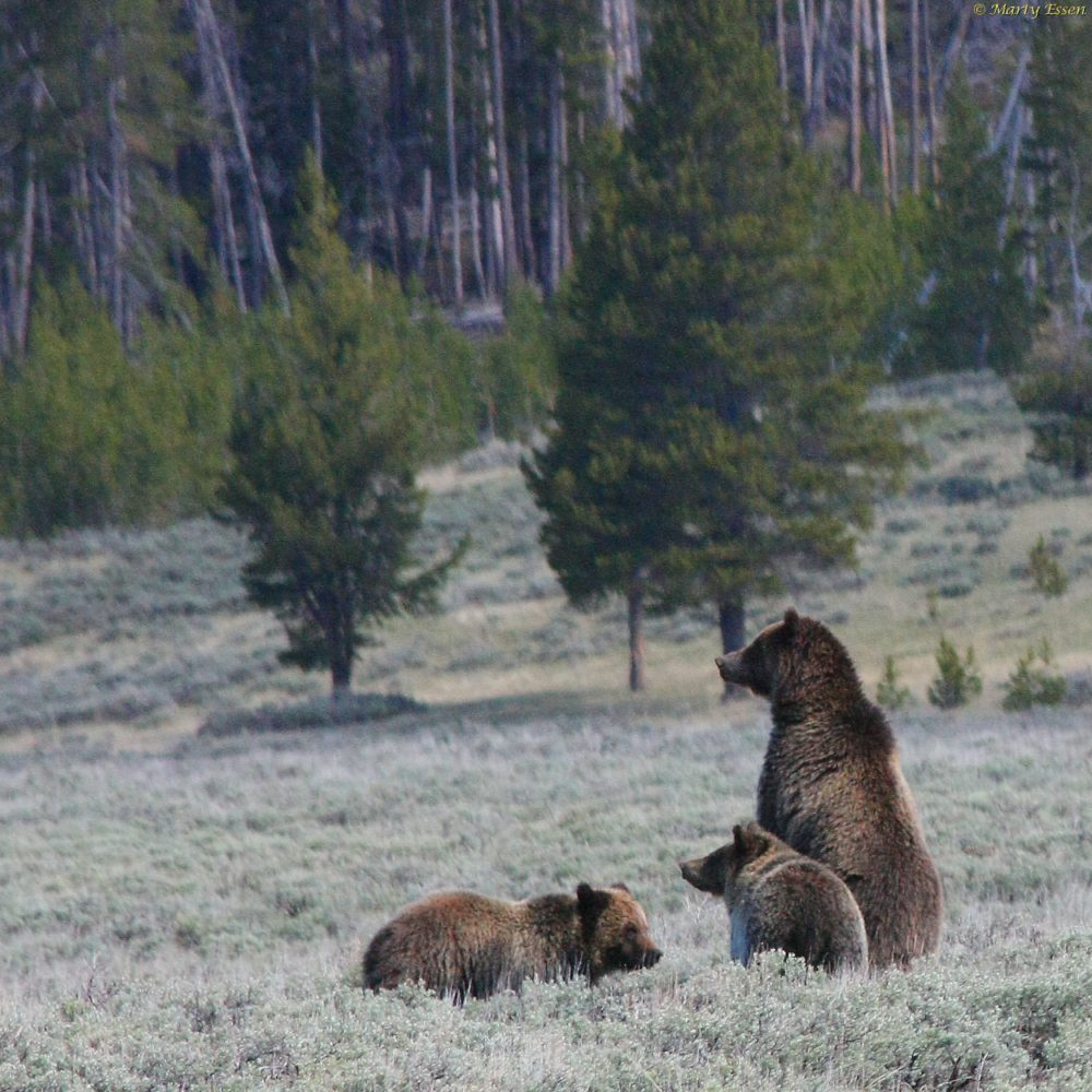 Grizzly vs. Bison