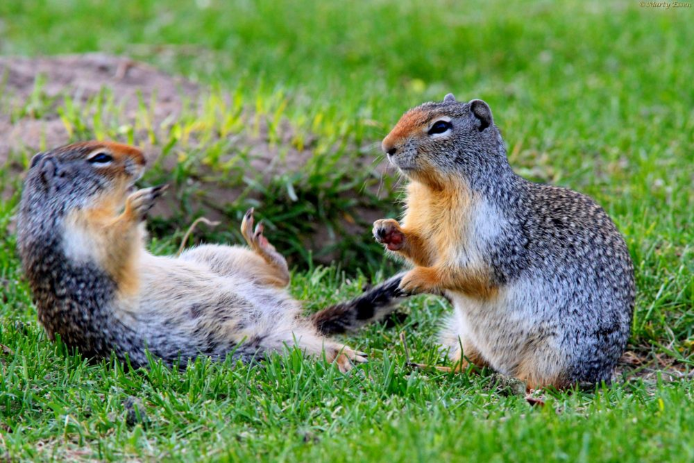 Ground squirrel games