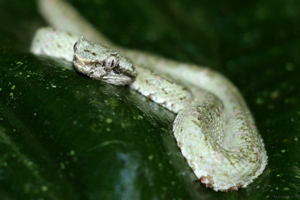 Fred the Eyelash Viper