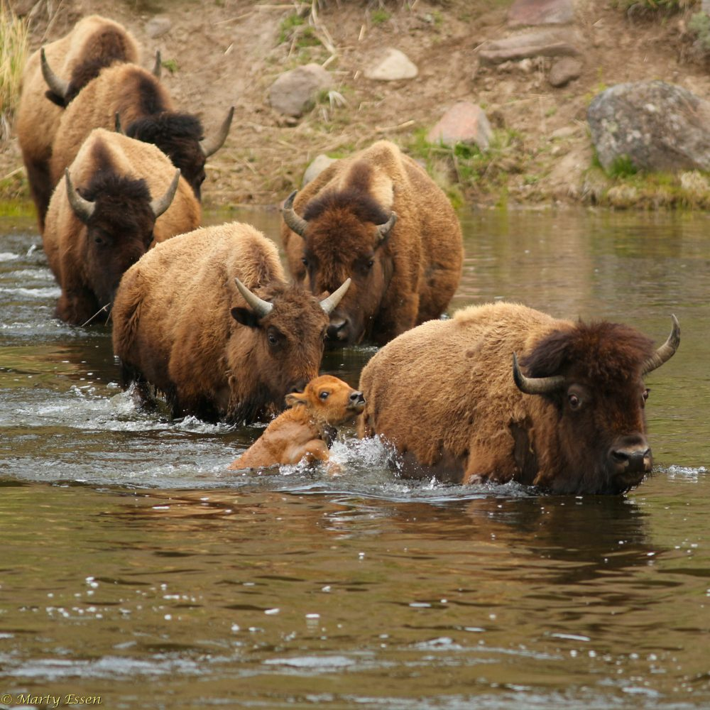 A baby bison's first swim