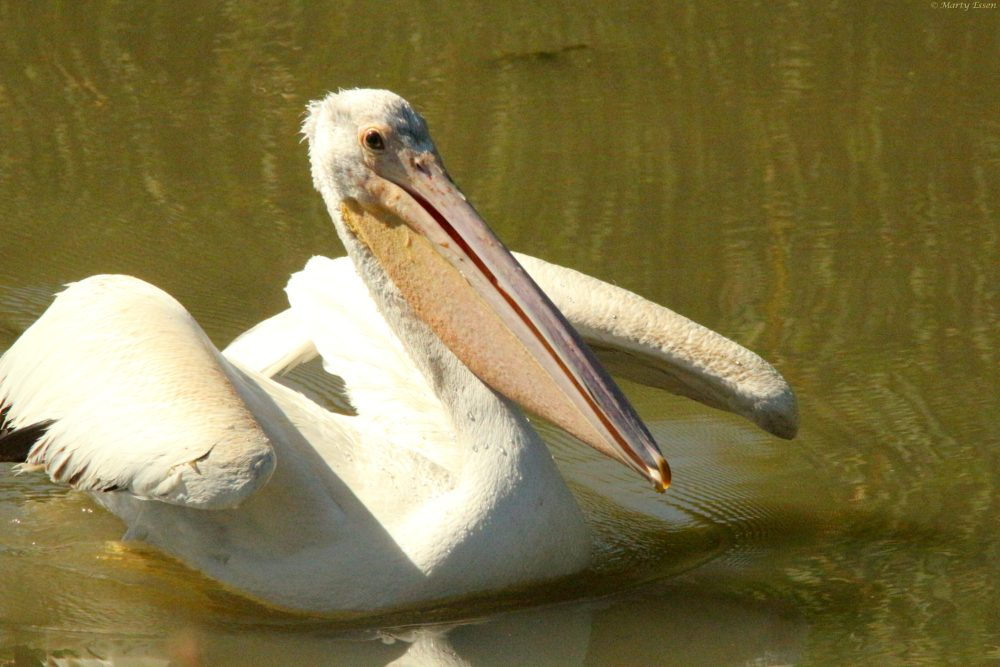Pelican take-off