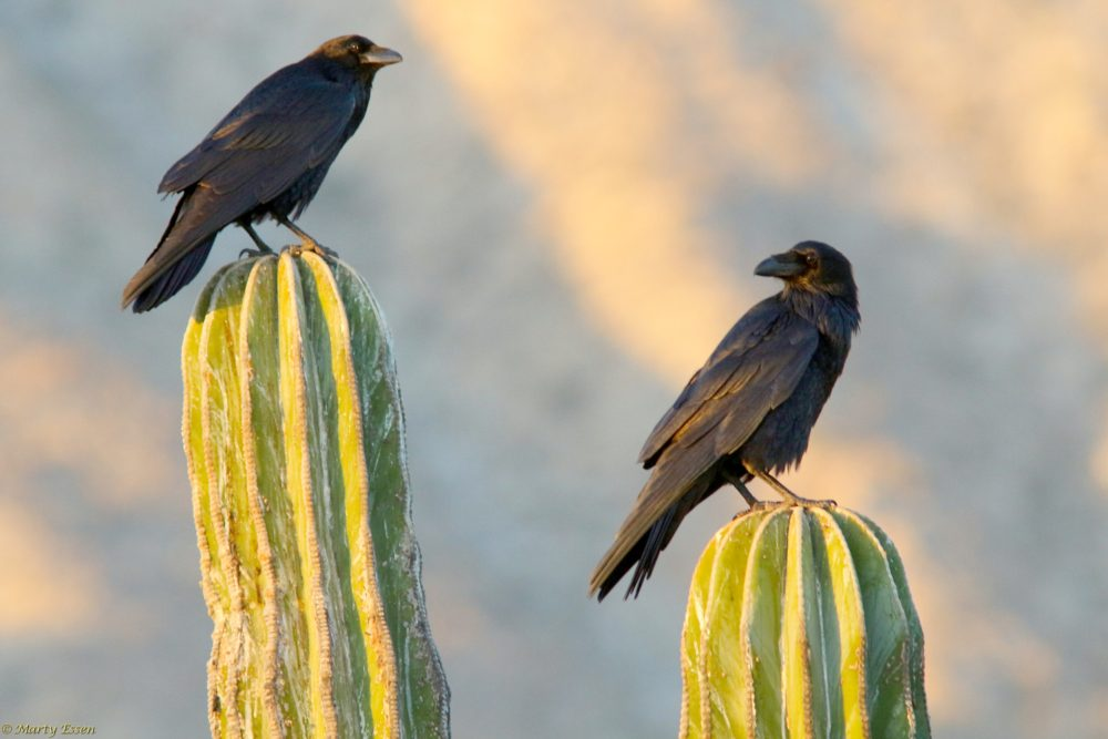 Ravens in Mexico