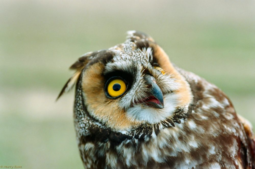 Long-eared owl comedian