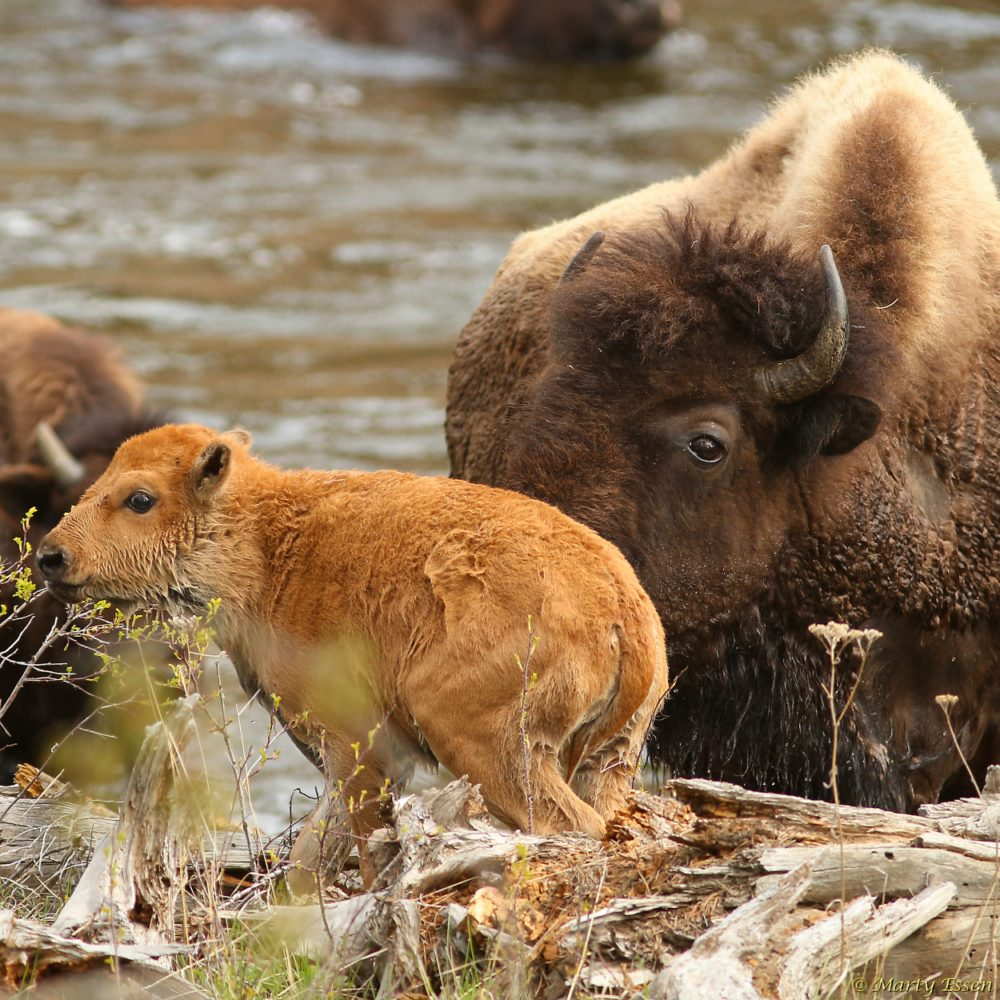 Baby bison and the river crossing